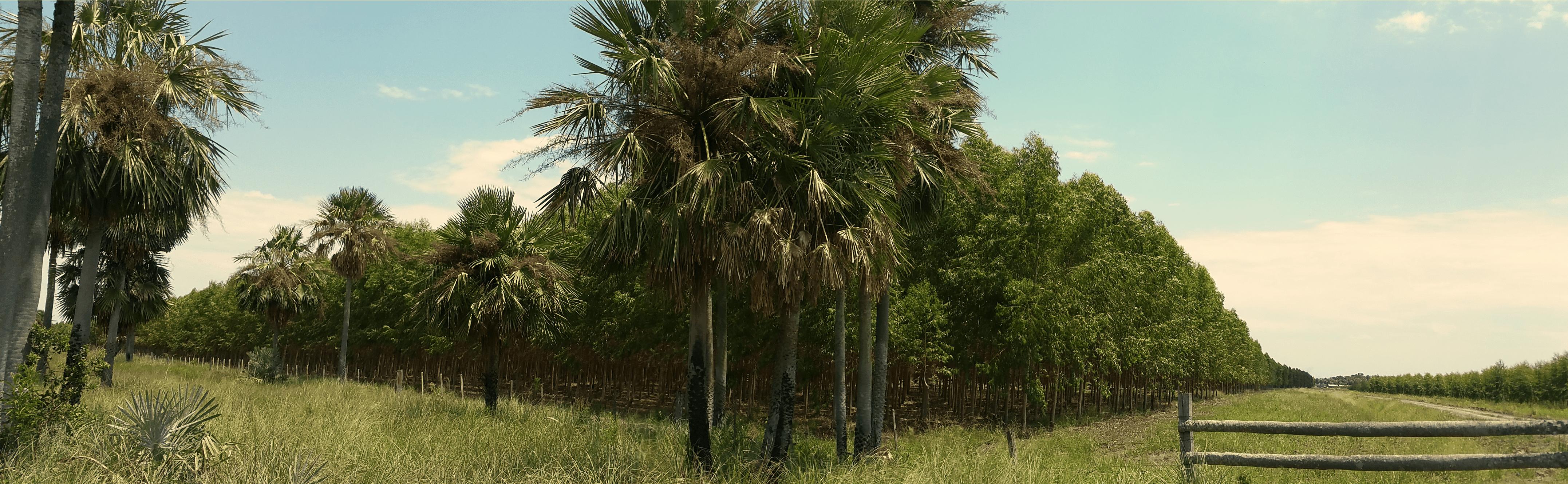 Jedno ťažné - jeden strom